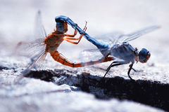 联接的蜻蜓 库存照片
