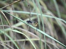 联接的蜻蜓 图库摄影