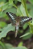 联接的蝴蝶 免版税库存照片