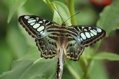 联接的蝴蝶 免版税库存图片