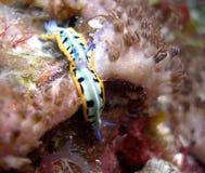 联接的nudibranches 库存图片