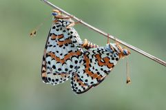 联接的pipevine swallowtails 免版税库存照片