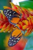 联接红色和黑热带蝴蝶 免版税库存照片