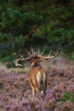 联接红色季节的鹿 免版税库存照片