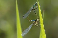 联接轮子的青被盯梢的蜻蜓Ischnura elegans 免版税库存图片