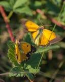 联接过程的被覆盖的黄色蝴蝶 免版税库存图片
