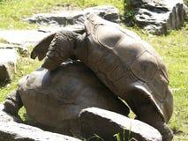 联接2的两只阿尔达布拉环礁草龟 免版税库存照片