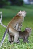联接1的猴子 免版税库存图片