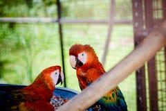 联系目光接触的两只猩红色金刚鹦鹉从他们的在囚禁关闭的笼子里边好奇神色 免版税库存照片