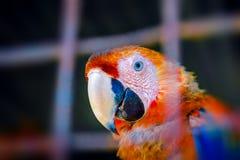 联系目光接触的猩红色金刚鹦鹉从他的在囚禁关闭的笼子里边画象好奇神色 免版税库存照片