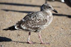 联邦Gov标记被结合的鸟 库存照片