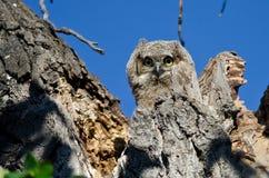 联系与您的可爱的幼小猫头鹰之子正眼接触由它的巢 库存照片