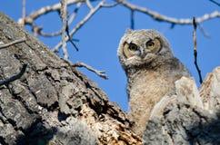 联系正眼接触的幼小猫头鹰之子由它的巢 免版税库存图片