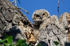 联系正眼接触的幼小猫头鹰之子由它的巢 库存图片
