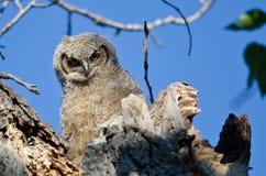 联系正眼接触的幼小猫头鹰之子由它的巢 免版税库存照片