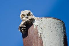 联系目光接触的幼小猫头鹰之子 免版税库存照片