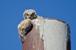 联系目光接触的幼小猫头鹰之子 库存照片