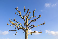聘用悬铃树(法国梧桐) 免版税图库摄影