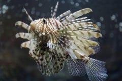 聚焦蓑鱼和危险 免版税库存照片