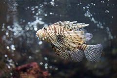 聚焦蓑鱼和危险 免版税库存图片