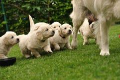 聚集他们母亲的小狗 免版税库存照片