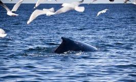 聚集飞行驼背海鸥包围的鲸鱼 免版税图库摄影