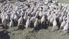 聚集绵羊 影视素材