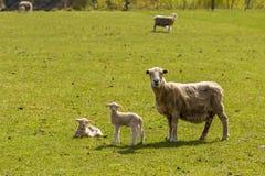 聚集绵羊 免版税库存照片