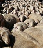 聚集绵羊 库存照片