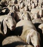 聚集绵羊 免版税库存图片