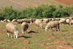 聚集绵羊 库存图片