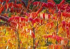 聪慧的红色和黄色黄栌在秋天 库存图片