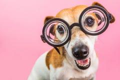 聪明的在圆的玻璃的书呆子滑稽的狗 回到学校 桃红色背景 库存图片