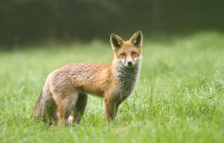 聪明的狐狸 库存图片
