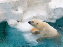 聪明的白熊 免版税库存图片