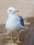 聪明的美好的好奇海鸥神色 库存图片