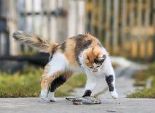 聪明的蓬松自创红色猫使用与一只被捉住的老鼠灰色Bo 免版税库存照片