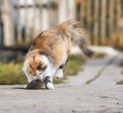 聪明的蓬松自创红色猫使用与一只被捉住的老鼠灰色Bo 库存图片