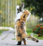 聪明的蓬松自创红色猫使用与灰色鼠被捉住的i 库存图片