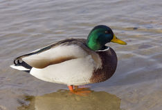 聪明的鸭子 图库摄影