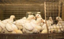 肉品种鸡在笼子的 免版税库存照片
