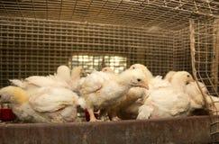 肉品种鸡在笼子的 库存照片