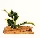 肉桂条和常春藤小树枝 免版税库存照片