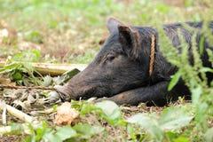 肉猪特写镜头 库存图片