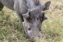 肉猪疣 库存照片