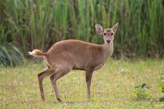 肉猪鹿在森林里 免版税图库摄影