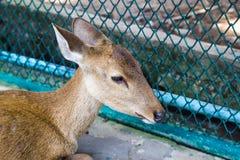 肉猪鹿(Hyelaphus porcinus) 免版税库存图片