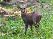 肉猪鹿(Hyelaphus porcinus) 图库摄影