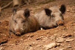 肉猪 免版税库存图片