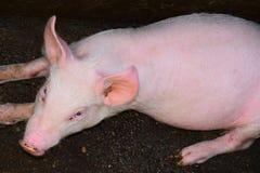 肉猪 图库摄影